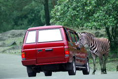 Excuse me sir!. Zebra asking for the direction Stock Image