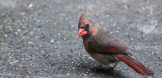 Excuse Me? Young Male Cardinal Stock Images