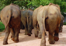 Excuse Our Tails Please. The elephants in Pinnewela elephant orphanage in Sri Lanka are going to the river Royalty Free Stock Photo