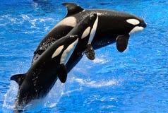 Exécutant des épaulards (orque) Photographie stock libre de droits