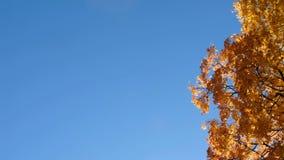 Exemplaarruimte tussen de gele bladeren van de esdoorn in de gouden herfst stock footage
