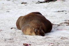 Exemplaire adulte d'une otarie masculine se trouvant sur la plage à l'île de kangourou photo stock