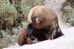 Exemplaire adulte d'une otarie masculine sur la plage à l'île de kangourou photographie stock libre de droits