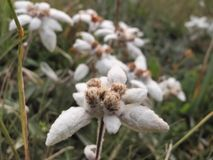 Exemplaire d'edelweiss alpin sur son environnement photo stock
