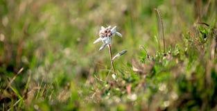 Exemplaire d'edelweiss alpin sur son environnement photo libre de droits