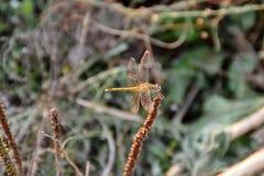 Exemplaire de la libellule photos libres de droits