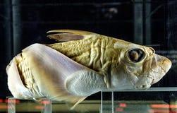 Exemplar eines Chimären rostrata Tiefseefisches im zoologischen exhi Lizenzfreie Stockbilder