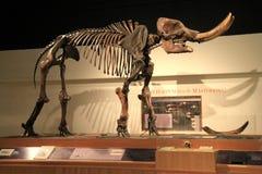 Exemple grandeur nature de mastodonte sur l'affichage, musée d'état, Albany, New York, 2016 photos libres de droits