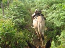 Exemplo bonito de uma mula colombiana Fotos de Stock Royalty Free