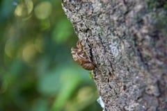 Exemplo vazio da cigarra no tronco de árvore foto de stock royalty free