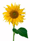 Exempted sun flower Stock Photo
