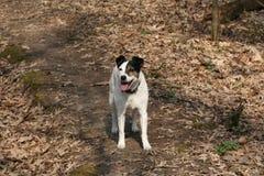 Exercício de passeio do animal de estimação do cão Fotografia de Stock