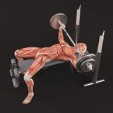 Exercice de gymnase de bodybuilding Banc à presse large de barbell de poignée Groupe de muscle de coffre Photos stock