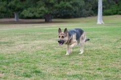 Exercice de race de chien Images libres de droits