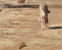 Exercice du guépard : chassant un attrait, prenant la vitesse photos stock