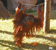 Exercice du matin de l'orang-outan Image stock