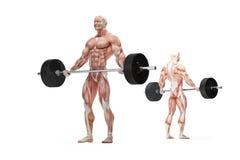 Exercices de Barbell Illustration anatomique D'isolement Chemin de coupure Images stock