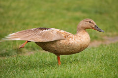 Exercise of the mallard. A female mallard takes exercise in the front of camera Stock Images
