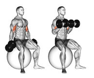 Exercising. Biceps curls seated on stability ball. Biceps curls seated on stability ball. Exercising for bodybuilding Target muscles are marked in red. Initial Royalty Free Stock Photos