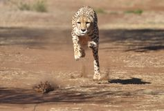 Exercising cheetah: chasing a lure, almost there! royalty free stock images