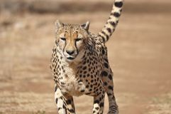 Exercising cheetah: slowing down after chasing a lure. Slowing down, the ears fold back and the head is raised Stock Photo