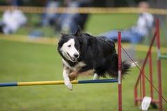 Exercising dog Stock Image