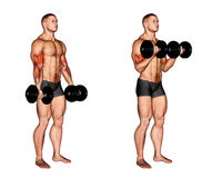 Exercising. Dumbbell Biceps Curl