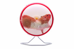 Exercising hamster Stock Photo