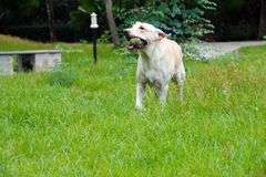 Exercising labrador dog. White labrador is running  happily with her ball on the fresh green field of public garden Royalty Free Stock Image