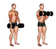 exercising Rizo del bíceps de la pesa de gimnasia Foto de archivo libre de regalías