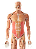 The exernal oblique. Medically accurate illustration of the exernal oblique Royalty Free Stock Photos