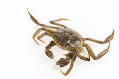 Exhale bubble of living crab closeup Royalty Free Stock Photography