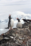 Exhaltation - ecstatic display of gentoo penguins, Royalty Free Stock Image