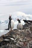 Exhaltation - gentoo企鹅欲死欲仙的显示, 免版税库存图片