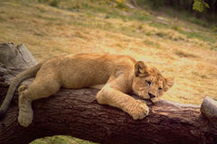 Exhausted! Royalty Free Stock Photos