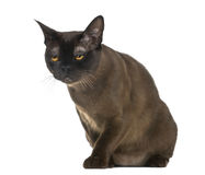 Exhausted Bombay cat sitting Stock Photos