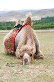 Exhausted camel. Camel lying with its head on ground royalty free stock images