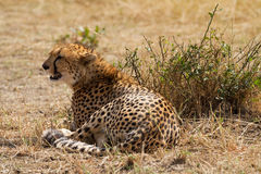 Exhausted cheetah Royalty Free Stock Photo