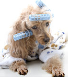 Exhausted in Curlers and Bathrobe. A poodle in bathrobe and curlers takes a nap on the sofa Royalty Free Stock Images