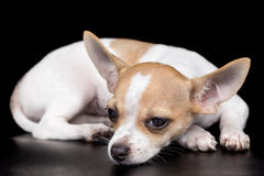 Exhausted dog lying on a black background Royalty Free Stock Photography