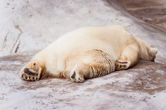 Exhausted white bear lies on the stone royalty free stock photography