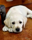 Seven Week Old Yellow Labrador Puppies Getting Ready for the Deep Sleep. Exhausted Yellow Lab puppy finding a place to sleep after a hard day of play Royalty Free Stock Photo