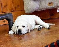 Seven Week Old Yellow Labrador Puppies Getting Ready for the Deep Sleep. Exhausted Yellow Lab puppy finding a place to sleep after a hard day of play Stock Photography