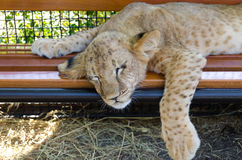 Exhausted young lion cub Royalty Free Stock Photography