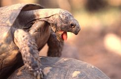 Exhaustion. Mating turtle Stock Images
