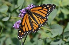 Exhibición completa de la mariposa de monarca que alimenta en la verbena púrpura Fotografía de archivo libre de regalías