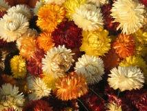 Exhibición de crisantemos coloridos Imagen de archivo libre de regalías