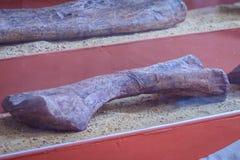 Exhibición de esqueletos realistas de la pierna de los dinosaurios Fotos de archivo libres de regalías