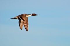 Exhibición de vuelo del pato rojizo fotografía de archivo