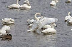 Exhibición del cisne de tundra Foto de archivo